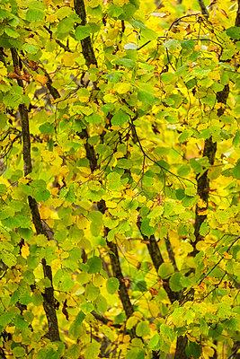 Autumn hazel grove - p1418m2217362 by Jan Håkan Dahlström