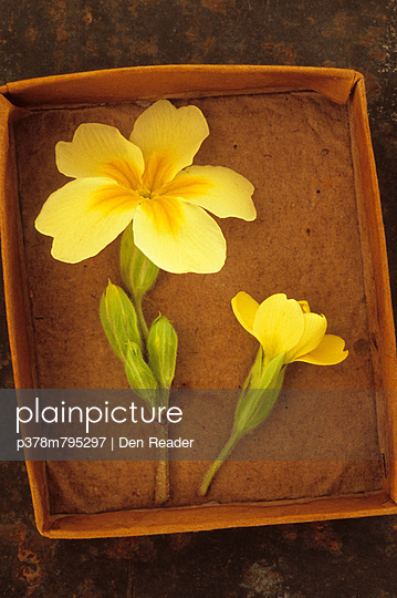 Yellow flowers in tray - p378m795297 by Den Reader