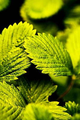 Close-up of Wild strawberry leaves - p4550680f by GUSK