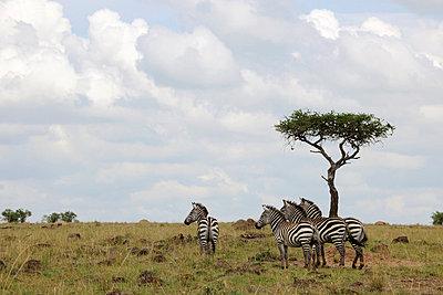 Attentive zebras - p5330234 by Böhm Monika