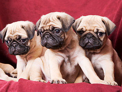 Pugs sitting on sofa - p555m1420383 by Tanya Constantine