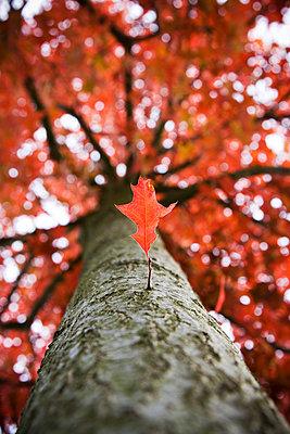 Baum mit roten Laub - p7950100 von JanJasperKlein