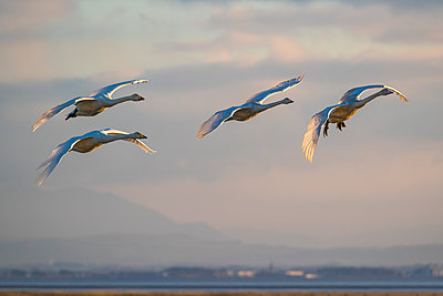 Whooper swans, Cygnus cygnus, in flight, Caerlaverock WWT reserve, Dumfries and Galloway, Scotland, UK - p871m2077694 by Ann and Steve Toon