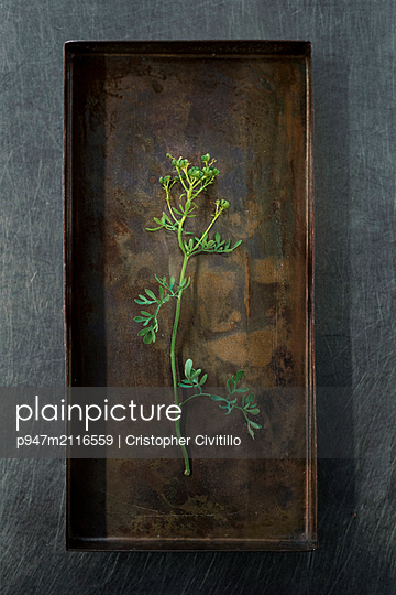 Wild cilantro - p947m2116559 by Cristopher Civitillo