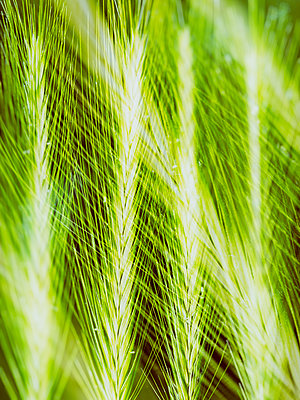 Wild Wheat - p401m2185689 by Frank Baquet