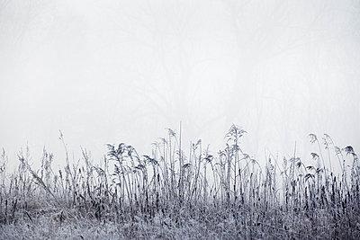 Gräser im Nebel - p739m1119394 von Baertels