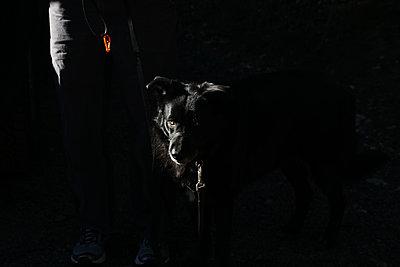 black dog on leash in streak of sunlight - p1166m2157091 by Cavan Images