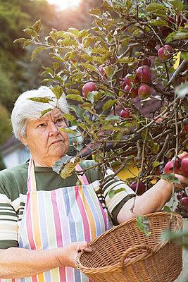 Senior woman picking apples - p300m1081644f by Miriam Dörr