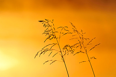 Reed against sky at dawn - p5756796f by Mikael Svensson
