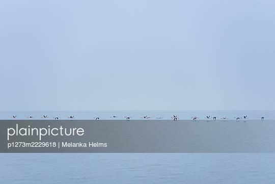 Namibia, Flamingos in the Walvis Bay - p1273m2229618 by Melanka Helms
