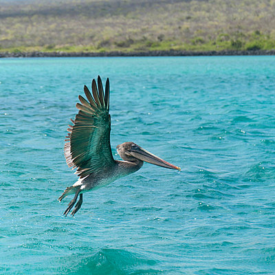 a pelican in flight over the pacific ocean; galapagos, equador - p44213624f by Keith Levit