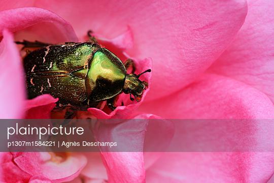 Grüner Käfer frisst eine Rose - p1307m1584221 von Agnès Deschamps