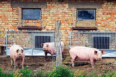 Drei Schweine - p2280426 von photocake.de