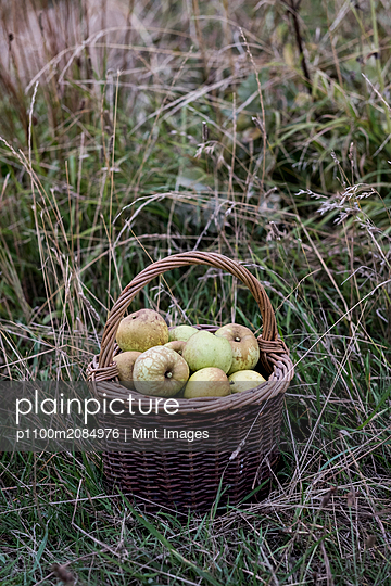 Close up of freshly picked apples in a brown wicker basket on tall grass. - p1100m2084976 by Mint Images