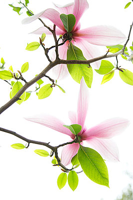 Magnolienblüte mit Blattgrün - p606m900697 von Iris Friedrich