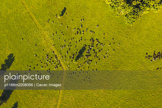 Aerial view rag of horses and cows grazing free at Odransko Polj - p1166m2208356 by Cavan Images
