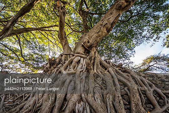 Fig trees on the enclosure wall of Fasilides Bath; Gondar, Amhara Region, Ethiopia - p442m2113968 by Peter Langer