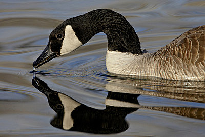 Canada Goose (Branta canadensis) with reflection while swimming and drinking, Denver City Park, Denver, Colorado, United States of America, North America - p8712371 by James Hager