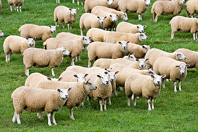 Flock of sheep grazing in a field , Oxfordshire, England - p871m837923 by Tim Graham