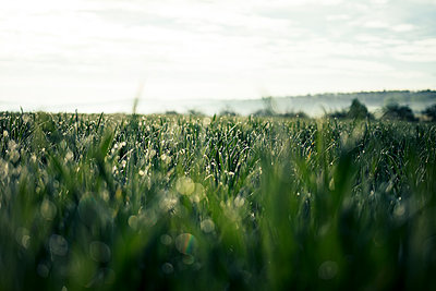 Beautiful Rich Green Grass in Morning Light with Rain or Dew Water Drops and Bokeh - p1166m2201034 by Cavan Images