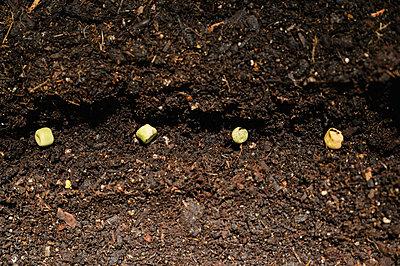 Bean seeds in soil - p1427m2292057 by Jamie Atlas
