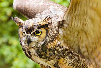 Great Horned Owl - p4342911f by Donna Eaton