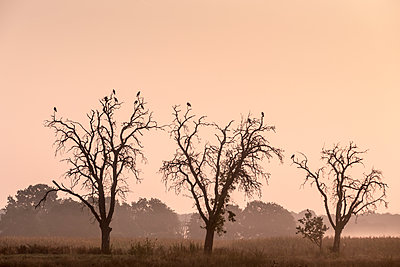 Crows perched in trees - p739m1170267 by Baertels