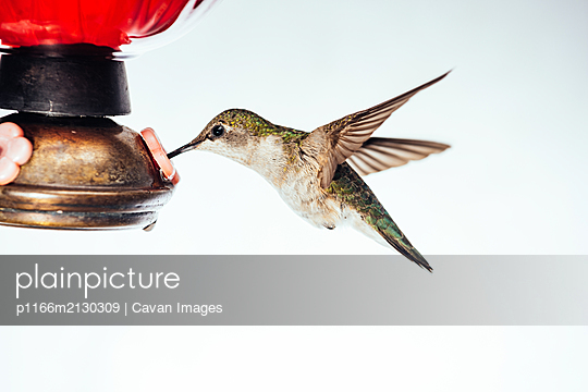 Female ruby throated hummingbird on white background - p1166m2130309 by Cavan Images