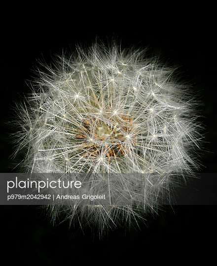Pusteblume - p979m2042942 von Andreas Grigoleit