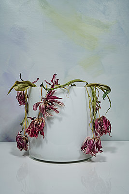 Withered tulips in a vase - p1312m2272144 by Axel Killian