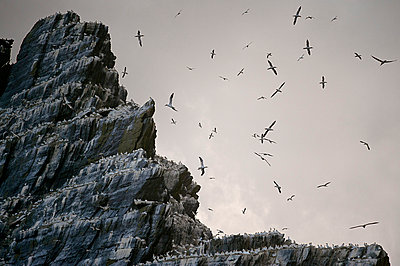 Sea birds roosting on cliffs - p429m767973 by George Karbus Photography