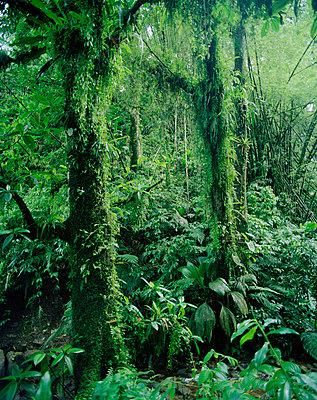 Rain forest Martinique - p31221657f by Per Eriksson