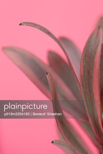 plant leaves against pink background - p919m2204183 by Beowulf Sheehan