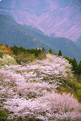 Blooming cherry blossoms at Gunma Prefectural Forest Park, Gunma Prefecture, Japan - p307m1495915 by Francesco Libassi
