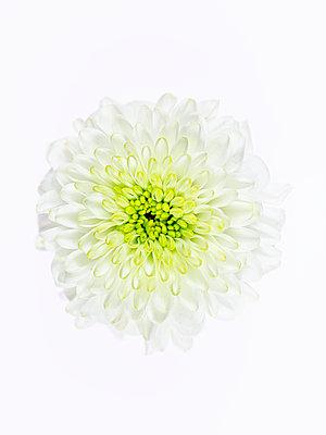 White Dahlia Blossom - p401m2181745 by Frank Baquet