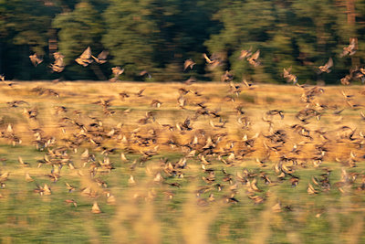 Flock of starlings takes wings - p739m2007927 by Baertels