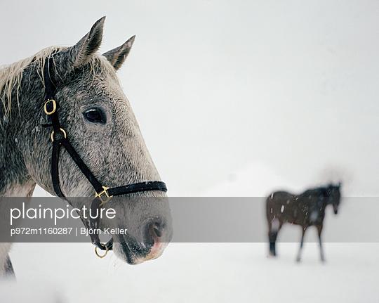 Pferde im Schnee - p972m1160287 von Björn Keller
