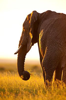 African elephant at sundown - p533m1120357 by Böhm Monika
