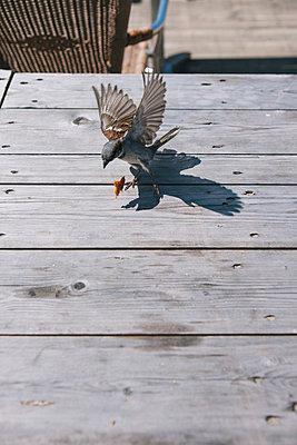 Ein Sperling und ein Futterbrocken auf einem Holztisch - p586m962678 von Kniel Synnatzschke