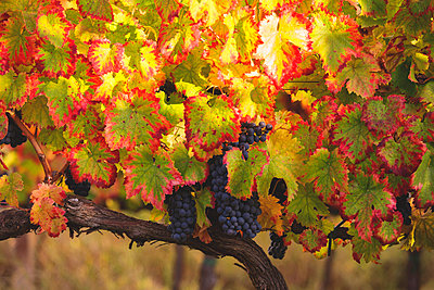 Europe, Italy, Umbria, Perugia district, Montefalco.  Grapes vine in autumn - p651m2006508 by ClickAlps