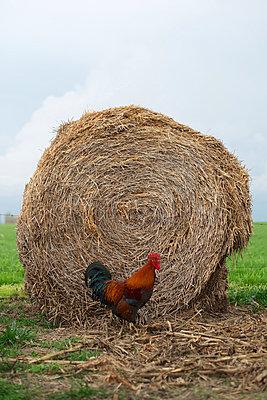Huhn vor einem Heuballen - p1169m1032591 von Tytia Habing