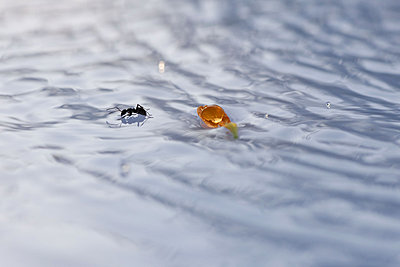 Ant on surface of water - p624m1045694f by Odilon Dimier