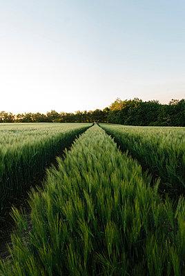 Sommerliches Getreidefeld icht - p946m859524 von Maren Becker