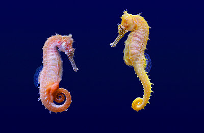 Seahorse - p974m661477 by Volker Banken
