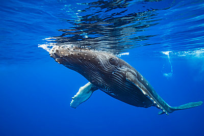 """Humpback whale (Megaptera novaeangliae) at the surface of the water; Hawaii, United States of America"" - p442m2016305 by Dave Fleetham"