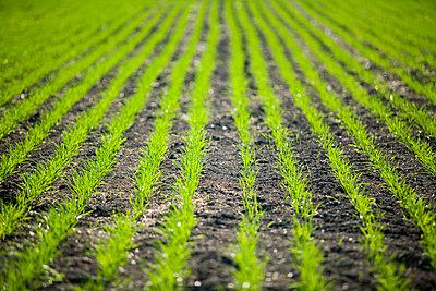 New Growth In Wheat Field, Lumsden, Saskatchewan, Canada - p442m837319f by Greg Huszar Photography