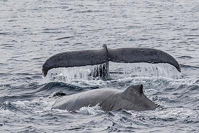 Adult male humpback whales (Megaptera novaeangliae) compete for a female in esterus, San Jose del Cabo, Baja California Sur, Mexico, North America - p871m1067027f by Michael Nolan
