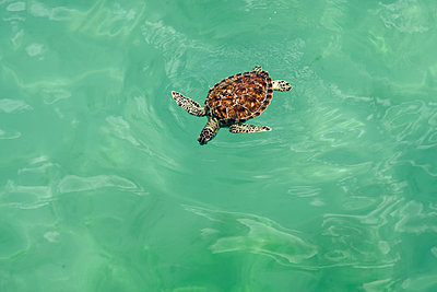 Sea Turle Swimming in the Ocean - p1262m1590733 by Maryanne Gobble