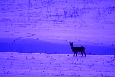 Roe deer on a snow covered field in the sunset - p5751587f by Marten Dalfors