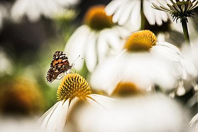 Monarch butterfly - p403m823001 by Helge Sauber